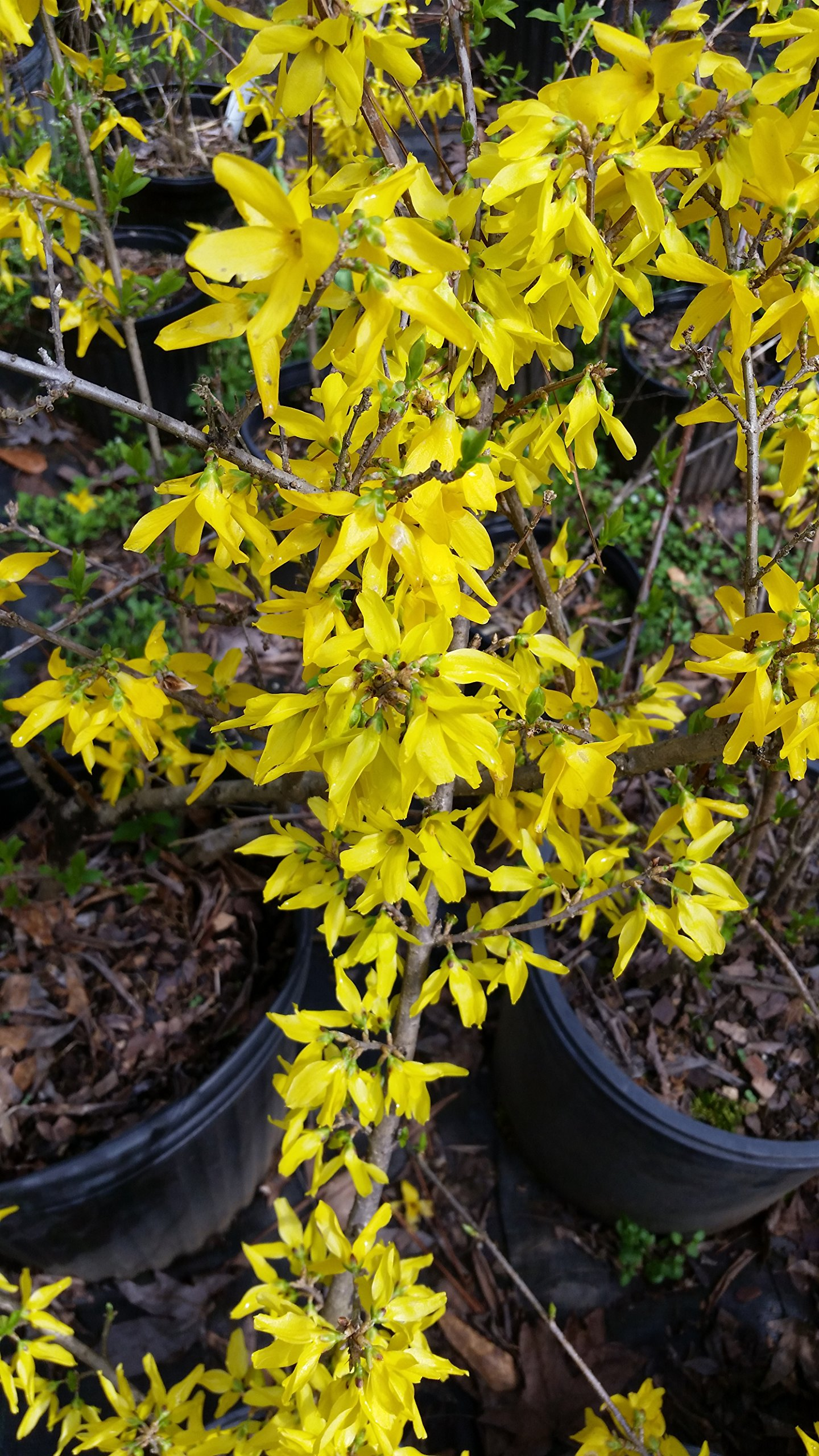(1 Gallon) FORSYTHIA '' NEW HAMPSHIRE GOLD'' Beautiful, Vibrant Yellow Blooms Late Winter to Spring, Attractive Purple Tinge to Fall Leaves. Cold Hardy Variety