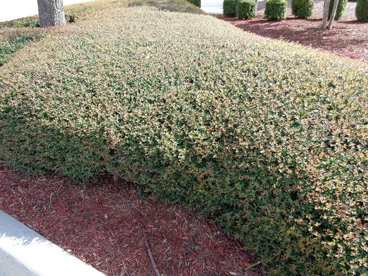 Ilex Schilling Stokes Dwarf Yaupon Holly Vomitoria Qty 72 Fully Rooted Live Plants Evergreen Hedge by Florida Foliage (Image #4)