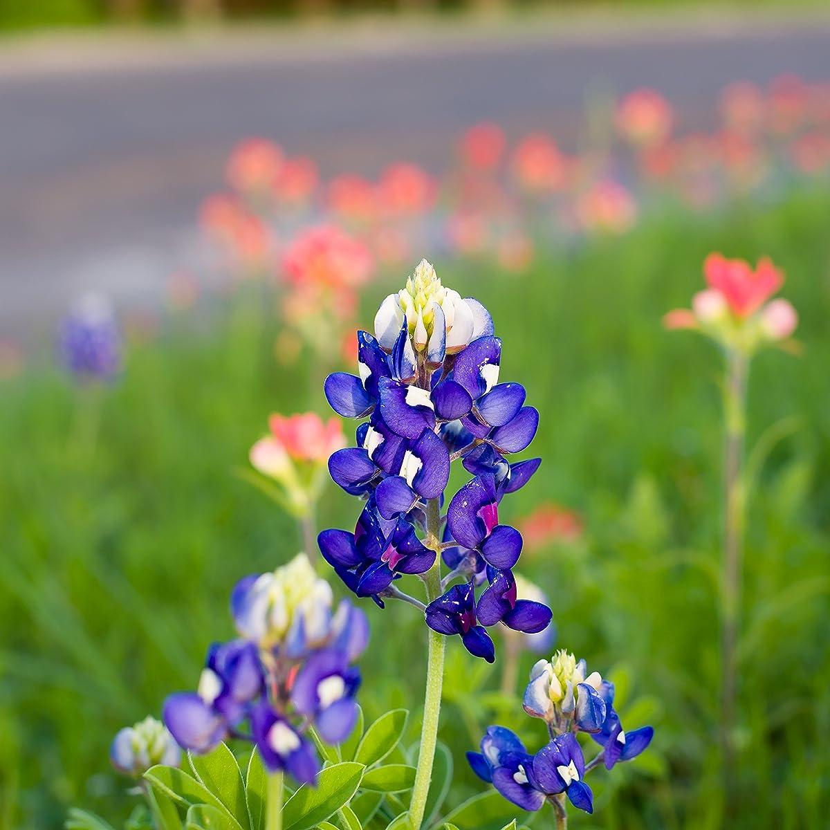 Outsidepride Texas Bluebonnet Seed - 500 Seeds