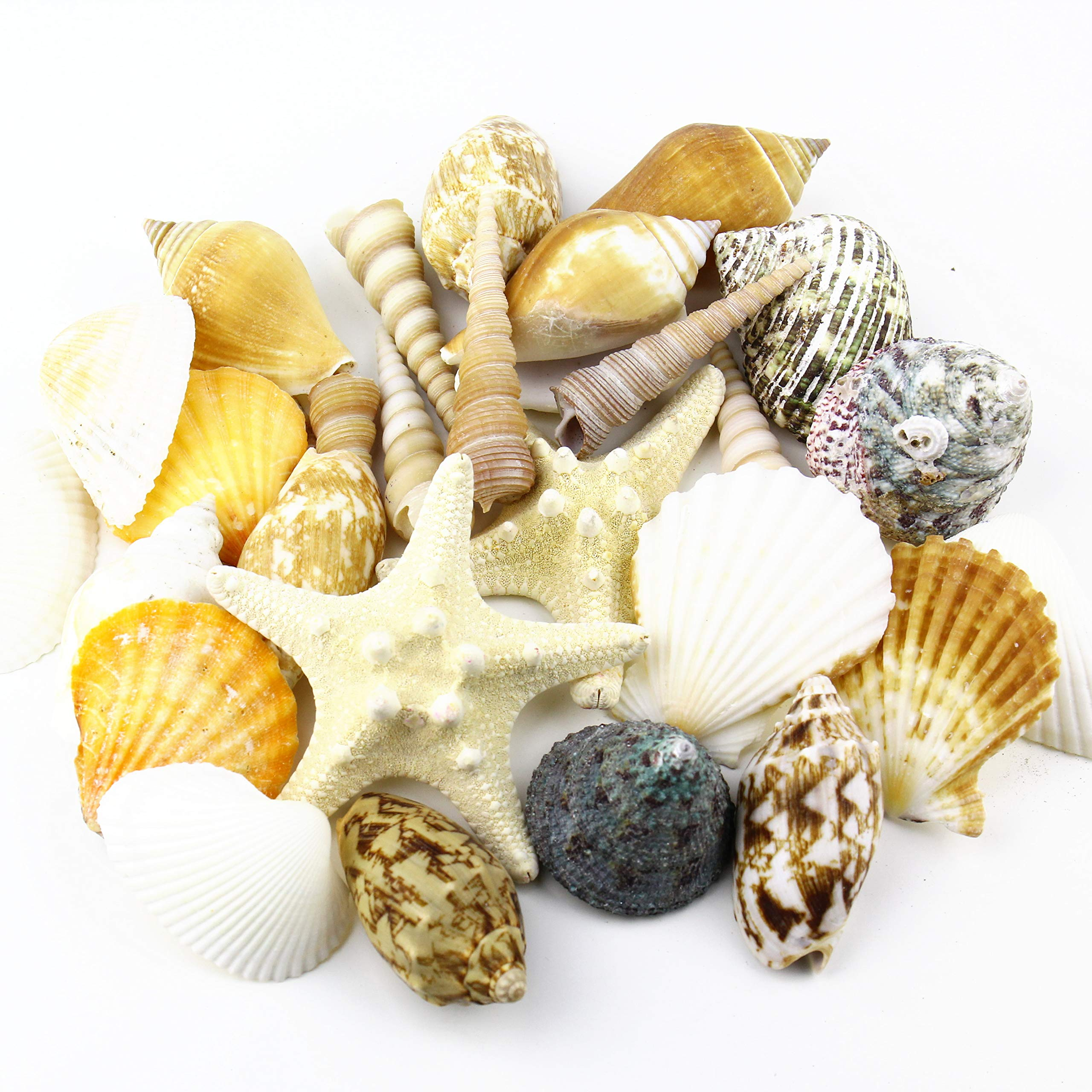 CYS EXCEL Approx 30 sea Shells with Starfish, Sized at 2'' to 4'', Mixed Beach Seashells, Arious Sizes Natural Seashells for Fish Tank, Vase Filler Sea Shells, Home Decorations, Wedding Décor by CYS EXCEL