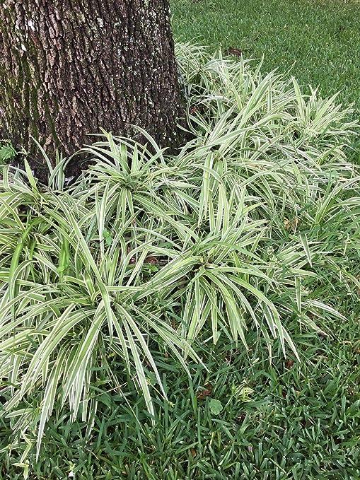 AGROBITS 2 Planta de araña con raíces - Verde Blanco - Purificador ...