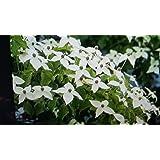 (1gallon pot)Kousa Dogwood Tree -Grand Small Dogwood,star-like white blooms,Kousa bloom a month after flowering dogwoods