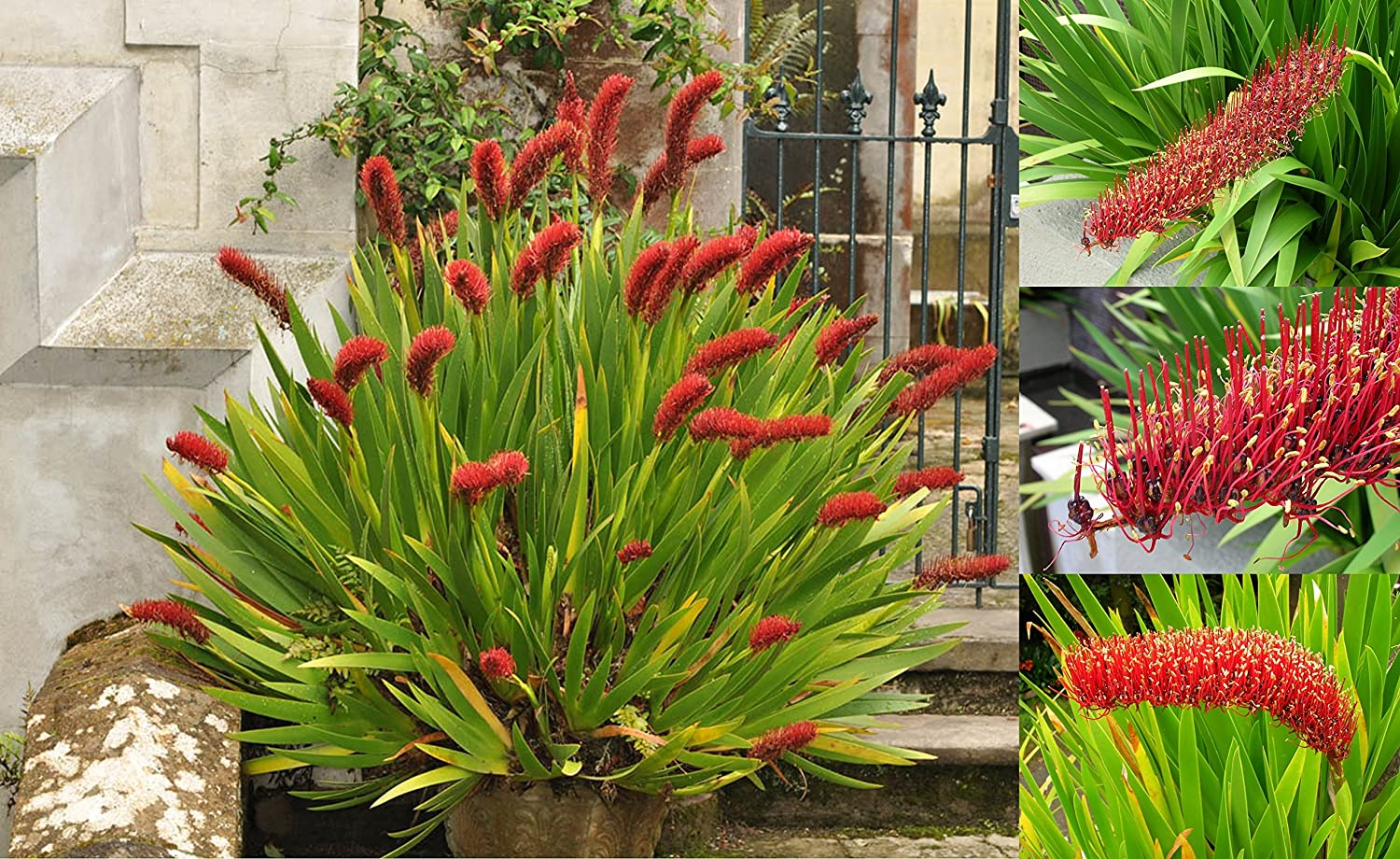 Extremely Rare * Xeronema callistemon * Poor Knights Lily * Vulnerable * 4 Seeds Arvice Seeds
