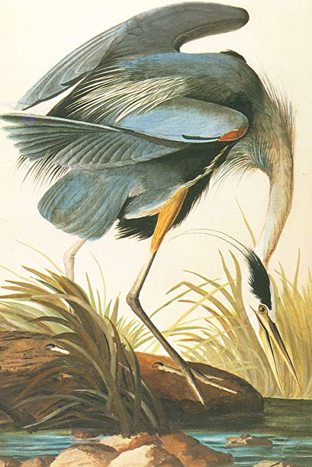 Great Blue Heron Audubon Canvas Or Wall Art Print