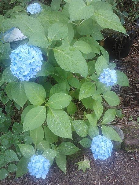 Amazon Com 1 Gallon All Summer Beauty Hydrangea Blooms All