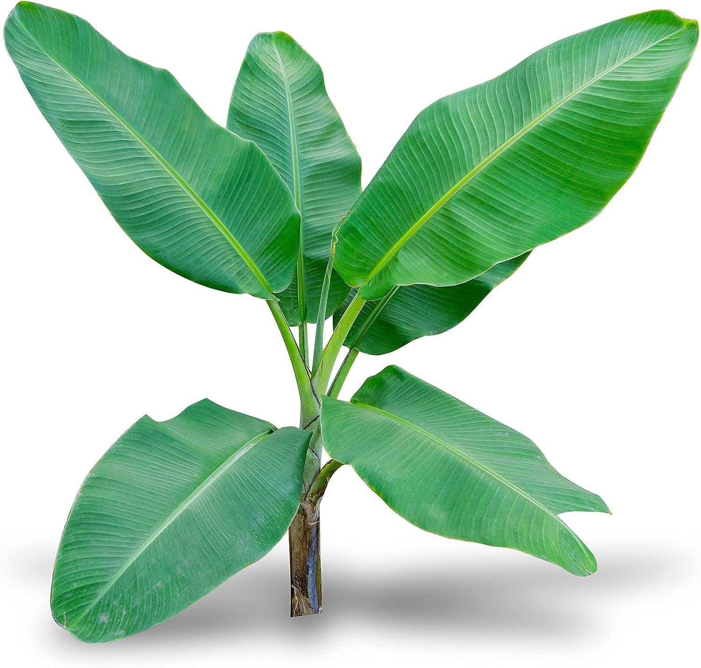 Banana Musa Live Tree Acuminata Gran Nain 3-Inch Pot Garden