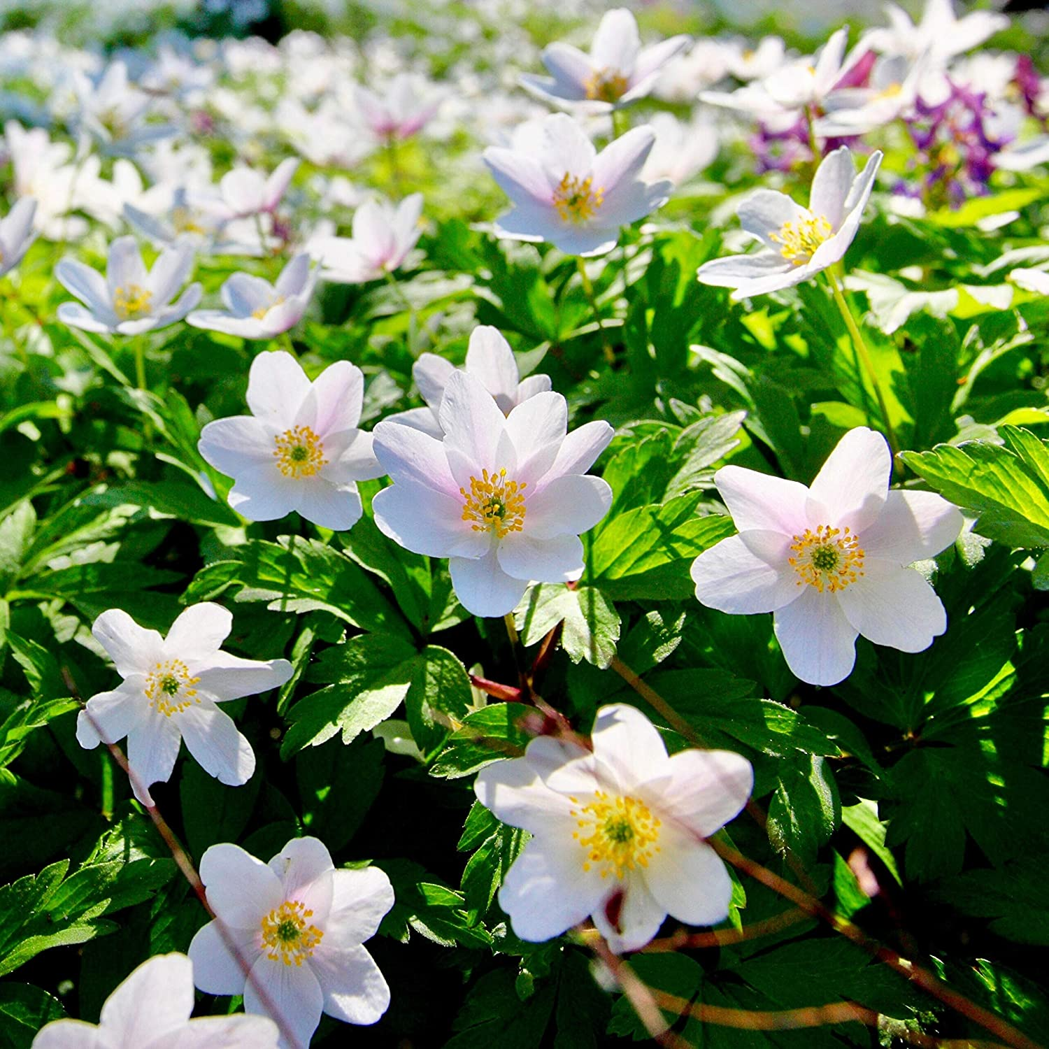 """10, /'Pagoda/' Yellow /""""Avalanche Lily/"""" /""""Trout Lily/"""" Spring Flowering Bulbs Woodland bulbs/® 10 x Erythronium /'Pagoda/' Dog/'s Tooth Violet Free UK P/&P"""