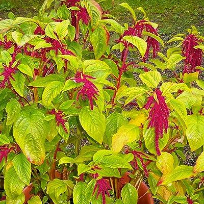 Love Lies Bleeding Red Amaranth Seeds (Amaranthus caudatus) 30+ Rare Heirloom Grain Seeds : Garden & Outdoor