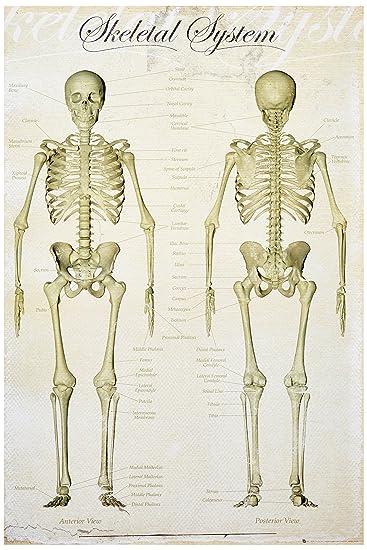 Amazon.de: 1art1 59819 Anatomie Poster - Das Menschliche Skelett, In ...