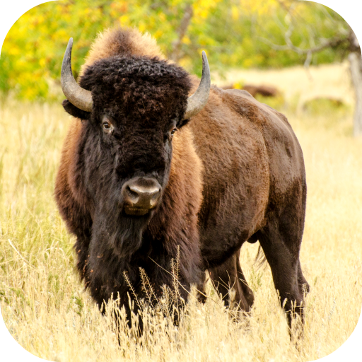 Native American Wallpaper - Bison Wallpaper