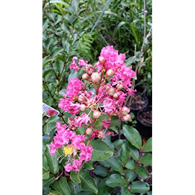 (1 Gallon) 'Sioux' Crape Myrtle, Everblooming, Beautiful Pink Blooms, Disease Resisitant, Attractive in All Seasons. Great for Southern Climates : Garden & Outdoor