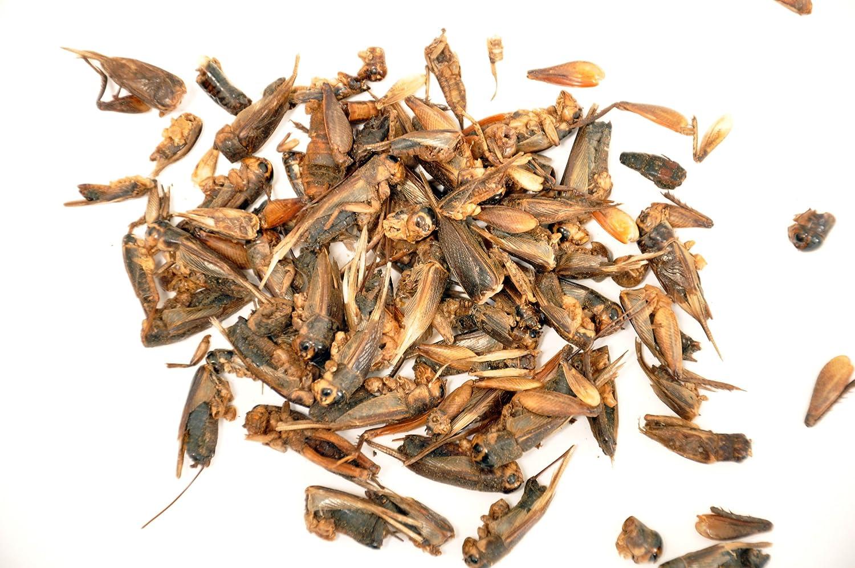 Packsaddle Premium Dried Crickets 150g, Wild Bird, Turtle, Fish & Hedgehogs, Grade A+ Decocraft