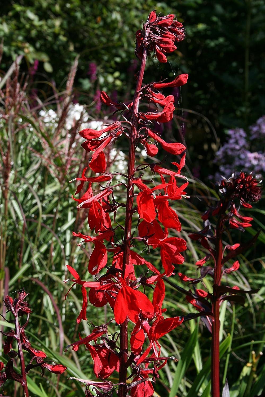 Lobelia cardinalis 'Queen Victoria' : a garden tested, hardy perennial plant supplied in a half litre pot Ballyrobert Gardens