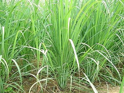 100 seeds of citronnelle des indes /'Cymbopogon flexuosus/' lemongrass seeds