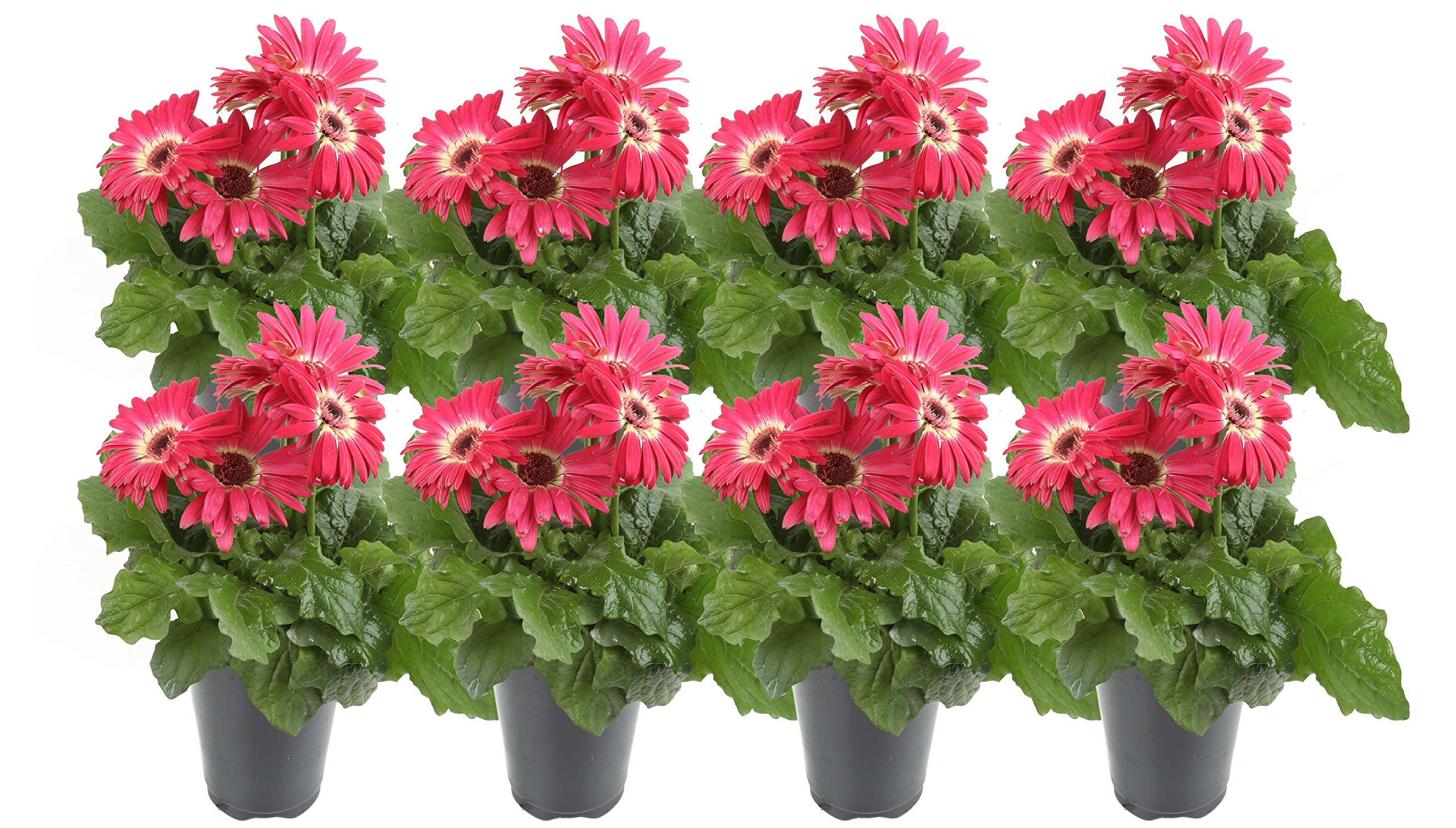 Costa Farms Gerbera, Transvaal Daisy Live Outdoor Plant 1 QT Grower's Pot, 8-Pack, Pink