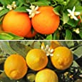 Pair Citrus Trees 1.2M - 1 orange & 1 lemon with 150g Citrus feed