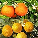 Pair Citrus Trees 1.2M - 1 orange & 1 lemon with 150g Citrus feed
