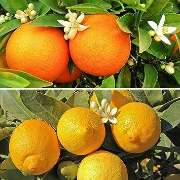 Citrus Trees, 1 Orange and 1 Lemon with 150 g Citrus Feed