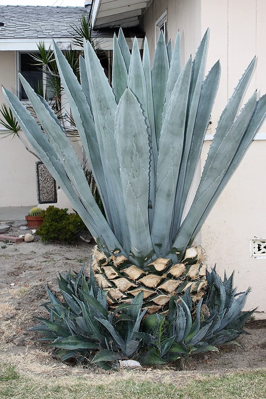 Amazon.com : Blue Agave Americana Cactus Plant 3-5 Inches (Maguey ...