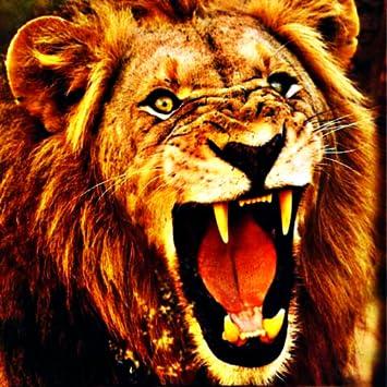 dangerous lion images  Amazon.com: Lion s - Dangerous Wild Cats Preying From Your ...
