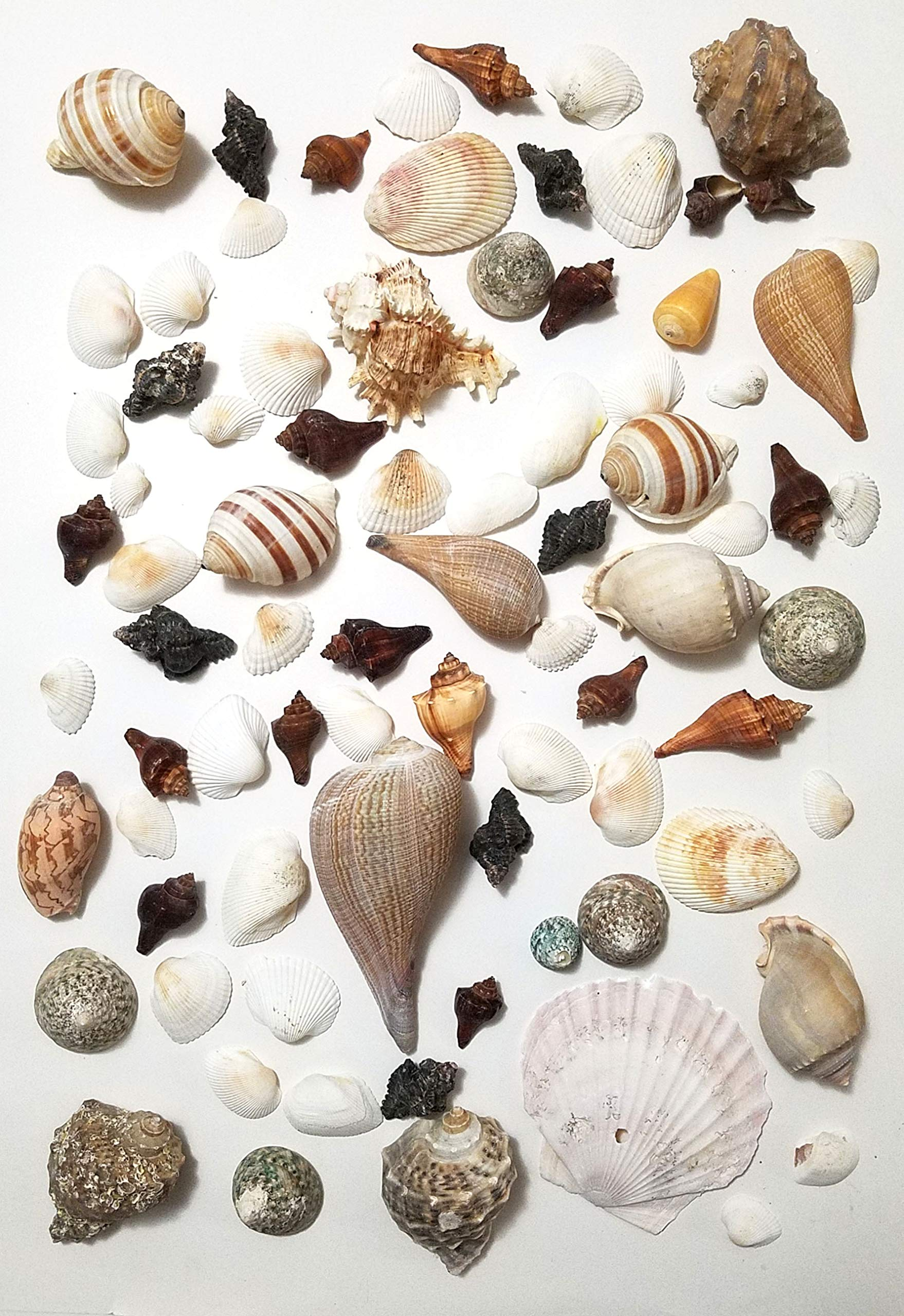 3 lbs/ 1360 Grams Large Mixed Beach Natural Sea Shells, Perfect Accents for Candle Making,Home Decorations, Beach Theme Party Wedding Decor, DIY Crafts, Fish Tank and Vase Fillers