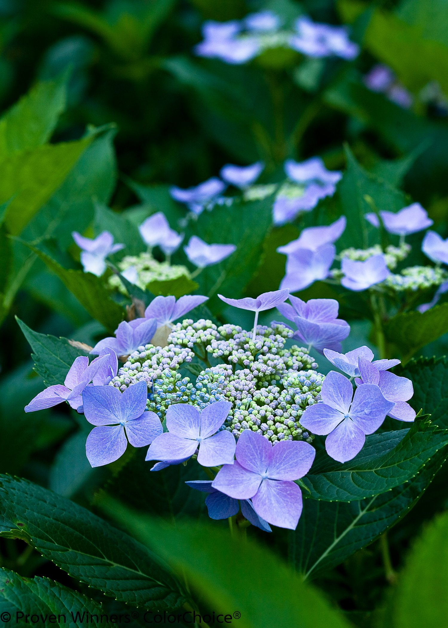 1 Gal. Let's Dance Starlight Bigleaf Hydrangea (Macrophylla) Live Shrub, Blue or Pink Flowers by Proven Winners (Image #2)