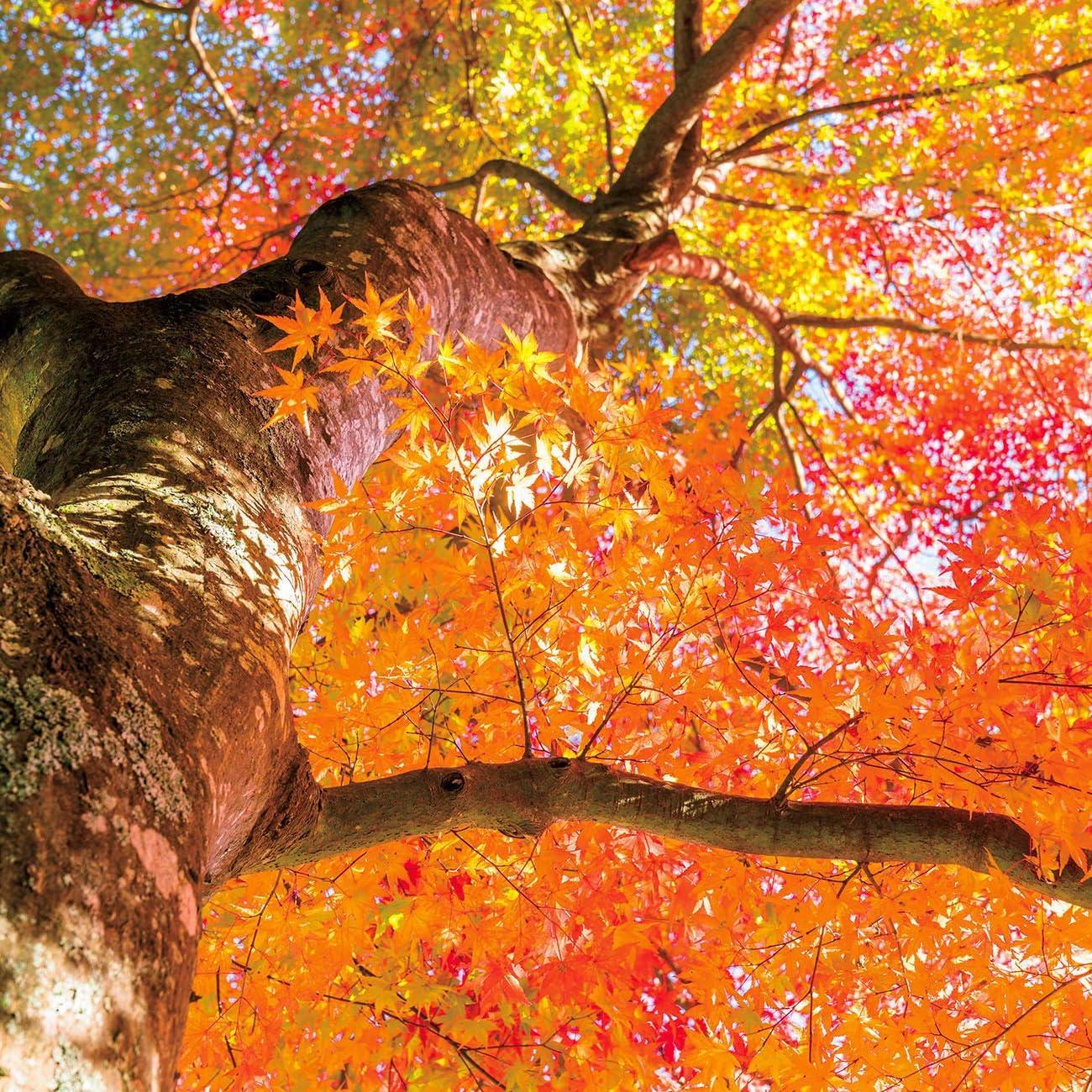 森 Ipad壁紙 モミジの鮮やかな変身 それは冬支度に向かう森の最後の