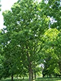 Hardy Pecan Tree - Carya illnoinensis - Heavy Established Roots - 1 Trade Gallon Potted - 1 plant by Growers Solution