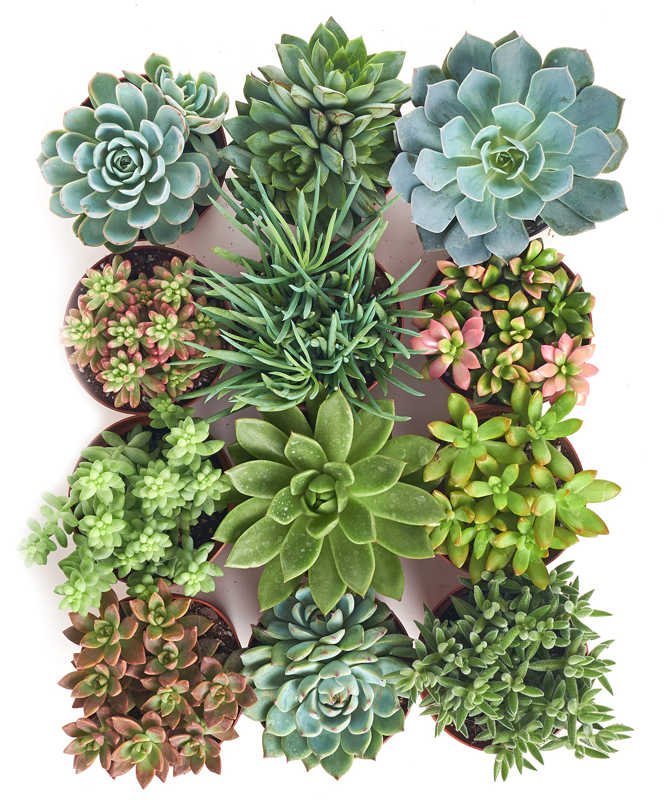 Shop Succulents | Assorted Collection of Live Succulent Plants, Hand Selected Variety Pack of Succulents | Collection of 12 by Shop Succulents