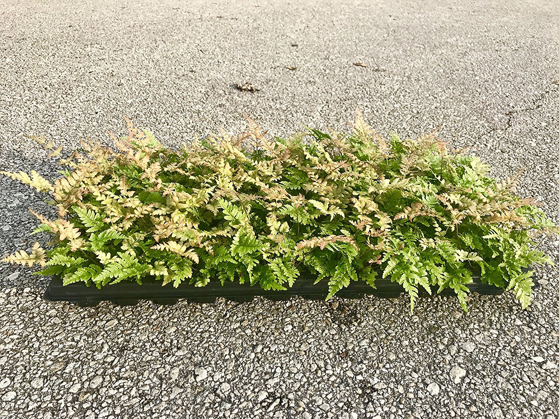 Autumn Fern Brilliance Qty 36 Live Plants Groundcover Dryopteris Erythrosora
