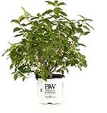 Limelight Hardy Hydrangea (Paniculata) Live Shrub, Green to Pink Flowers, 1 Gallon