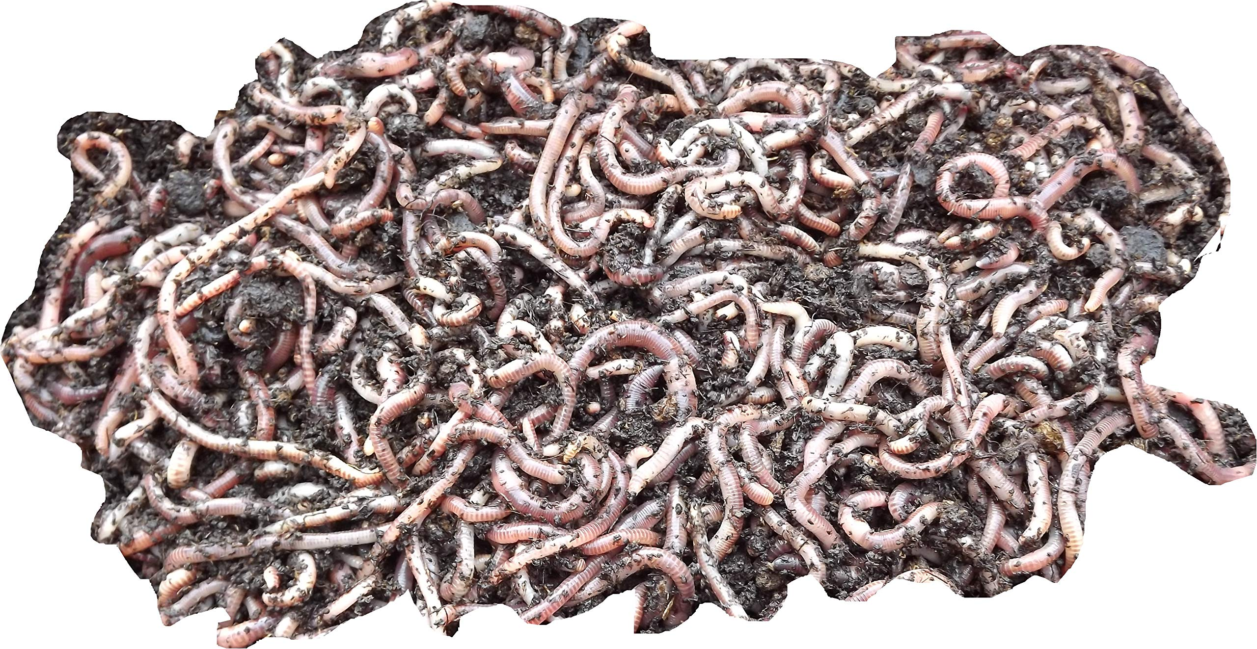 Tiger Earth Worms Composting Fishing Bait Small Large Tub