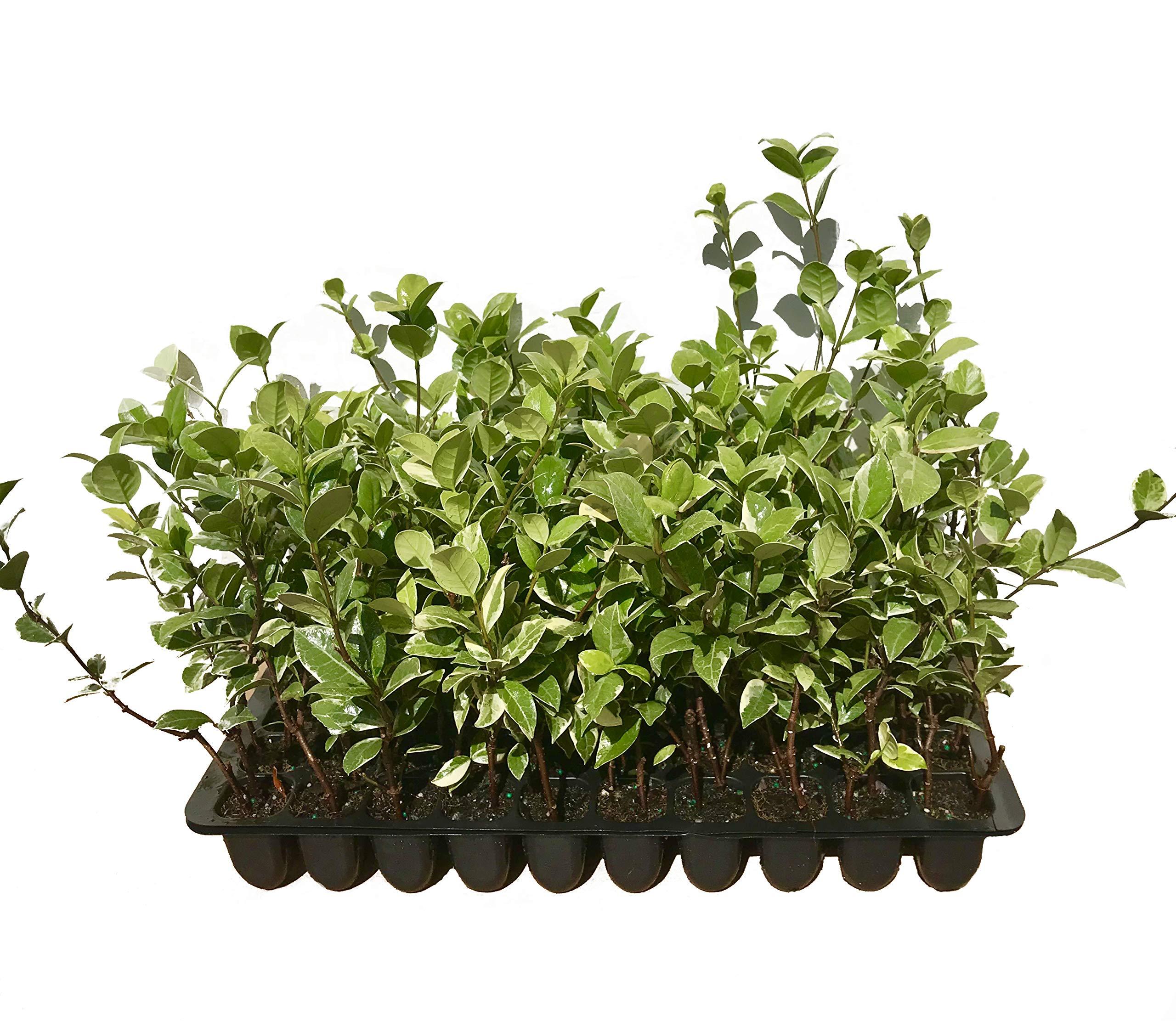 Confederate Jasmine Variegated - 20 Live Plants - Trachelospermum Jasminoides Variegatum - Fragrant Blooming Evergreen Vine by Florida Foliage