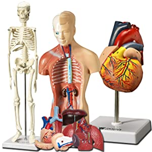 Evviva Sciences Human Heart, Torso and Skeleton Models - Best Set of 3 Hands-On 3D Model Study Tools for Anatomy and Physiology Students - with Anatomical Guide by Physicians - Learning Kit for Kids
