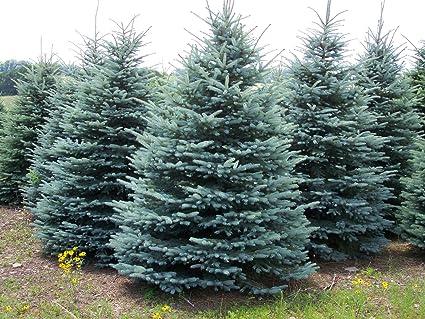 Bildergebnis für Picea pungens