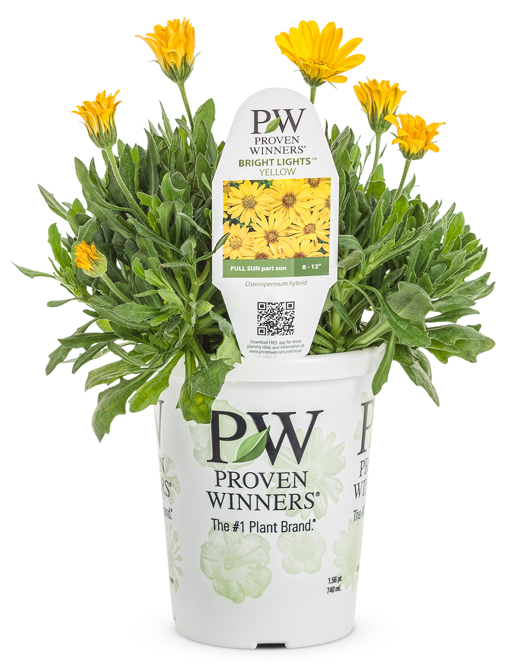 Bright Lights Yellow AfricanDaisy(Osteospermum) Live Plant, Yellow Flowers, 4.25 in. Grande, 4-pack