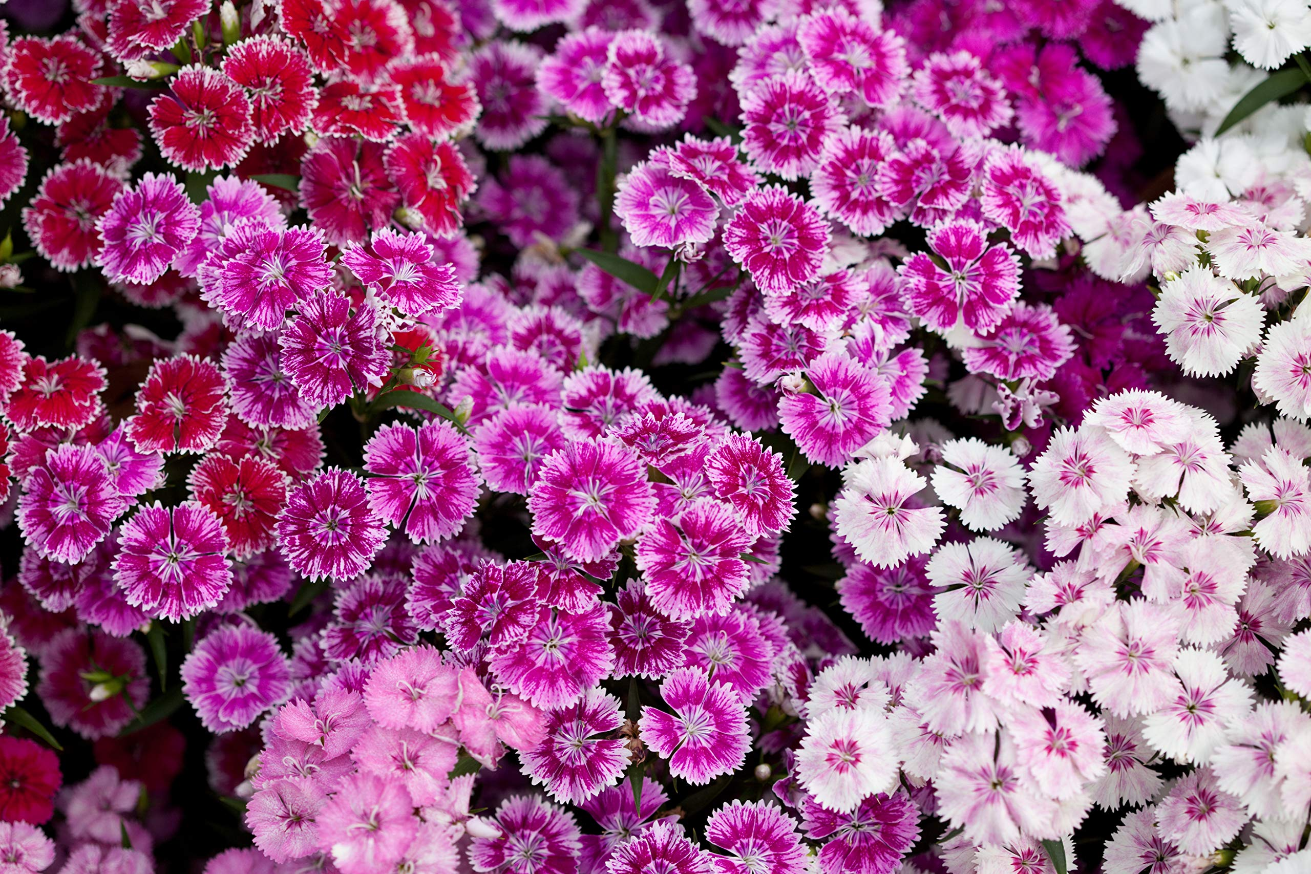 Sweet Yards Seed Co. Sweet William Seeds - Mixed Colors - Bulk One Pound Bag - Over 500,000 Open Pollinated Non-GMO Flower Seeds - Dianthus barbatus by Sweet Yards Seed Co.