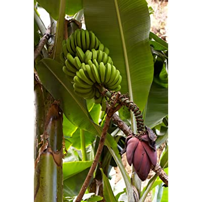 10 Seeds Musa Acuminata Fast Growing Banana : Garden & Outdoor