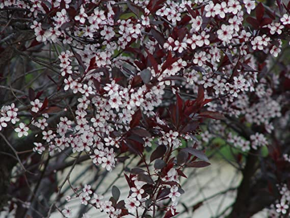 Amazon american beauties native plants prunus maritima beach amazon american beauties native plants prunus maritima beach plum shrub 2 size container garden outdoor mightylinksfo