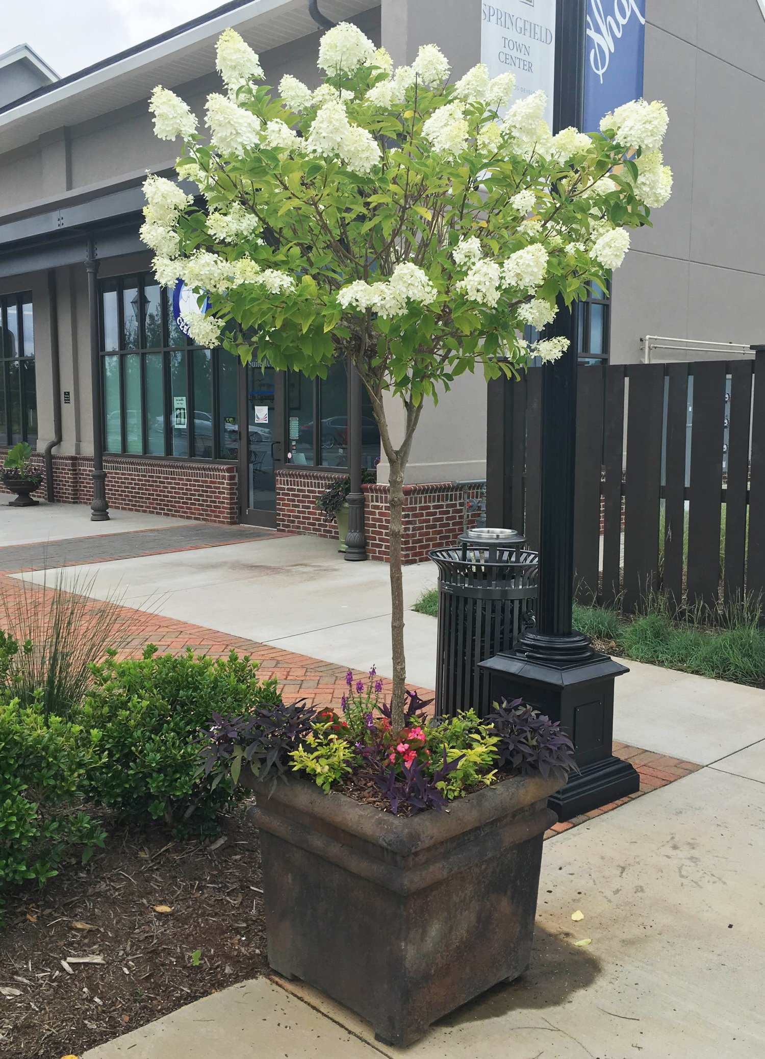 Limelight Hydrangea Tree by Brighter Blooms (Image #1)