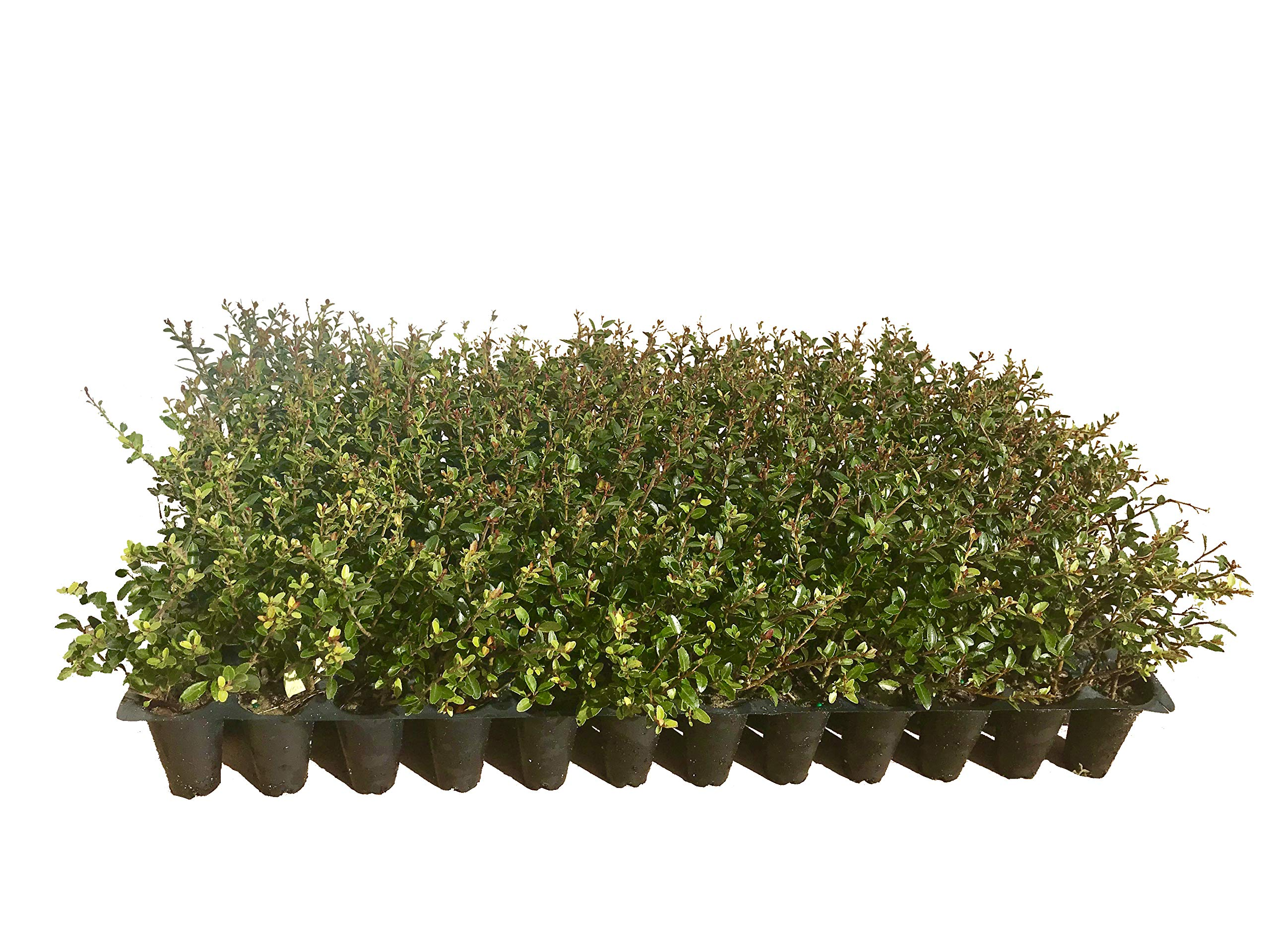 Ilex Schilling Stokes Dwarf Yaupon Holly Vomitoria Qty 72 Fully Rooted Live Plants Evergreen Hedge