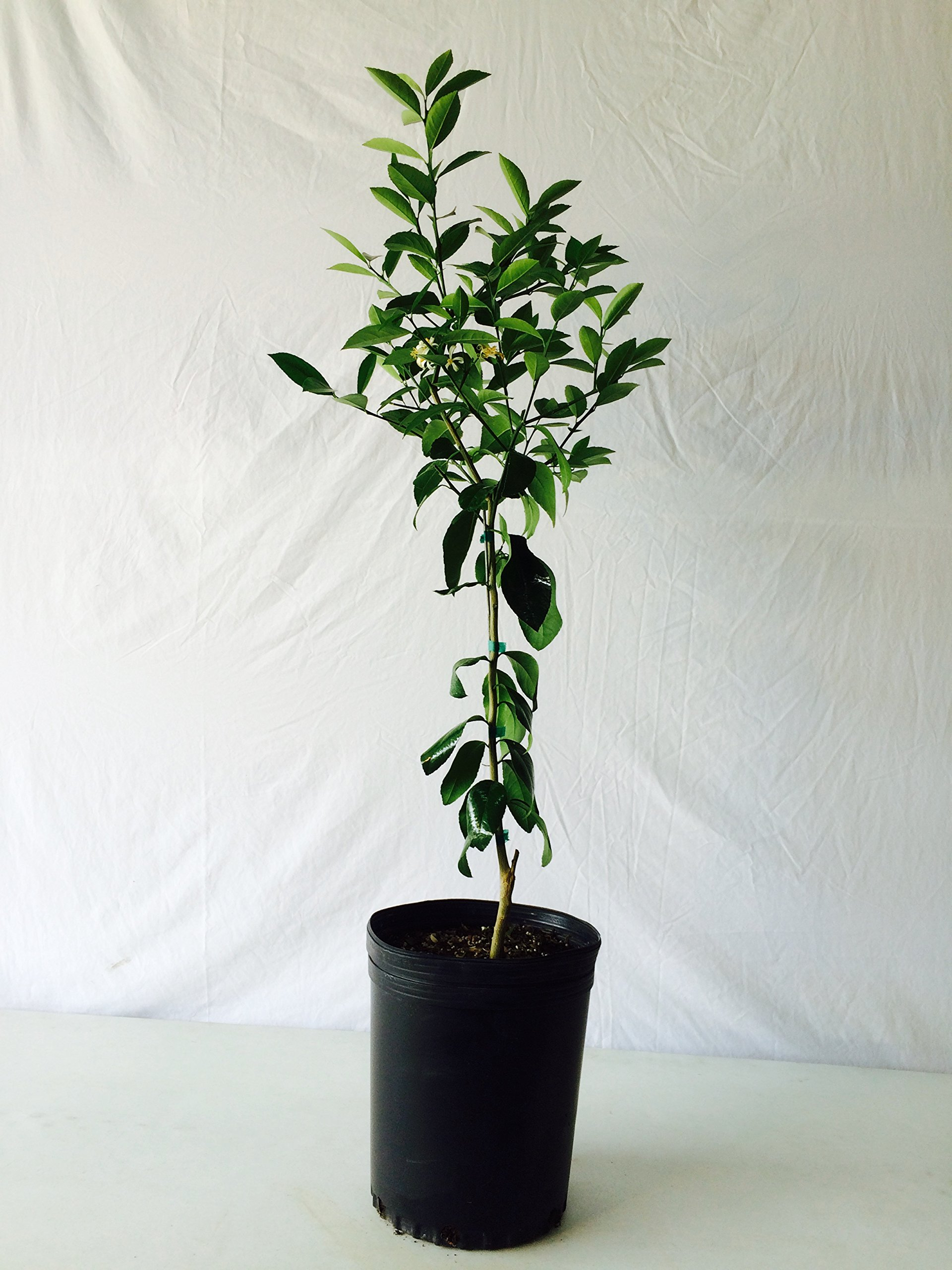 3-4 Foot Owari Satsuma Orange Tree in 3.5-Gallon Pot by CitrusTreeNursery.com