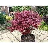 Japanese Purple Maple Tree 50-60cm Tall, Acer Palmatum Atropurpureum Plant in a 2L Pot