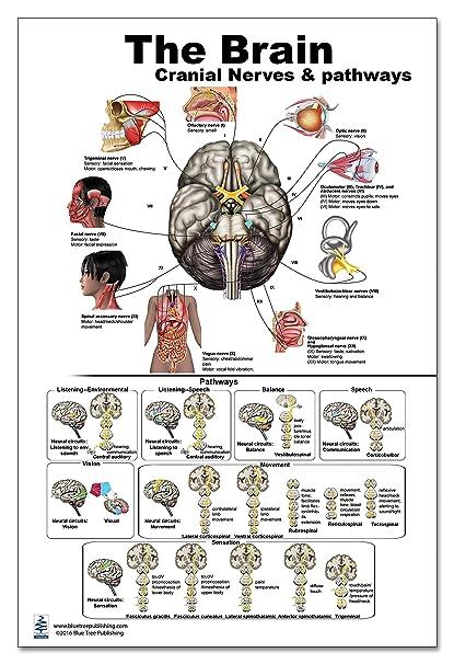 Amazon.com: The Brain Poster 24x36inch, Waterproof, Cranial Nerves ...