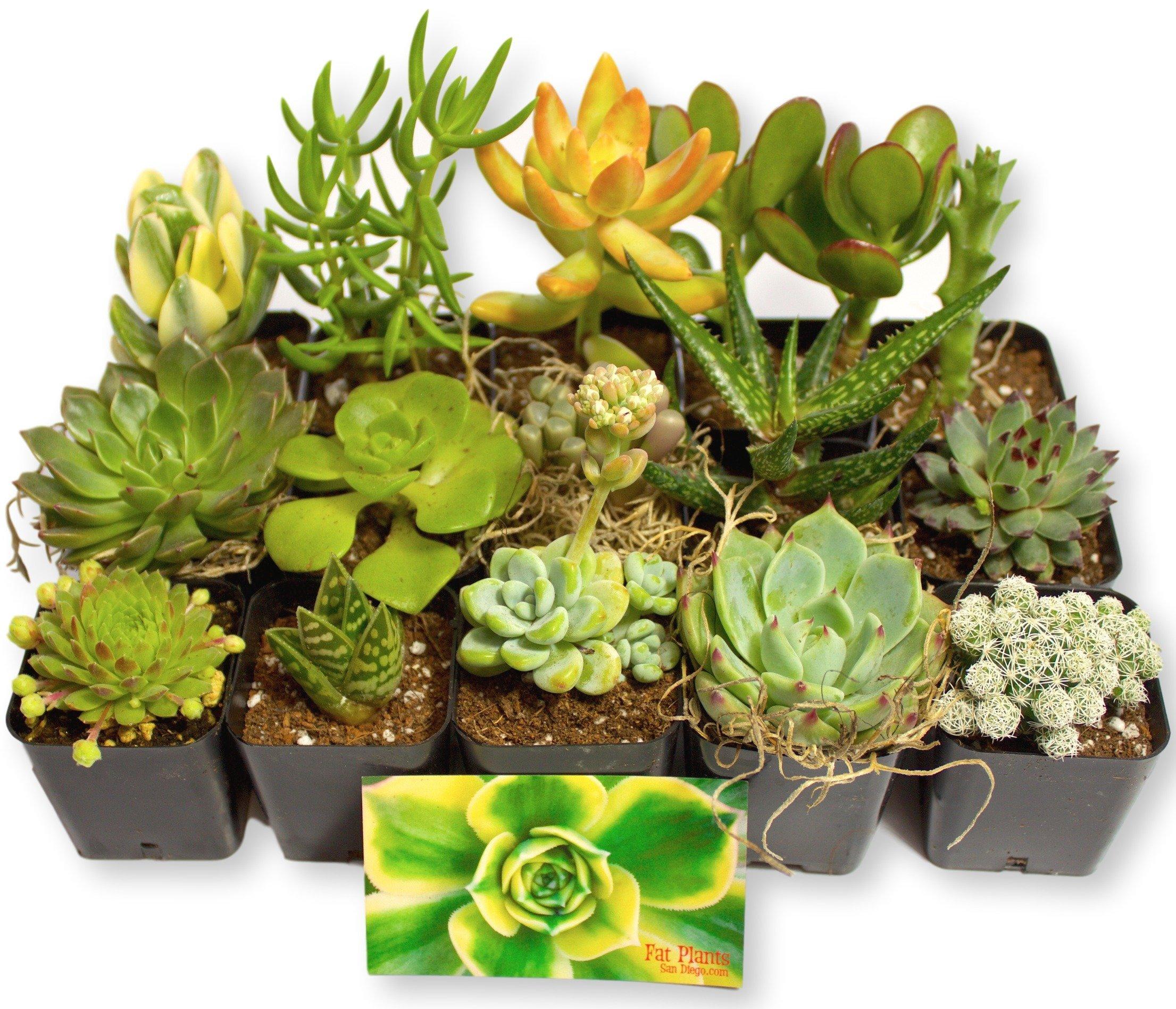 Fat Plants San Diego Miniature Living Succulent Plants in Plastic Planter Pots with Soil by Fat Plants San Diego
