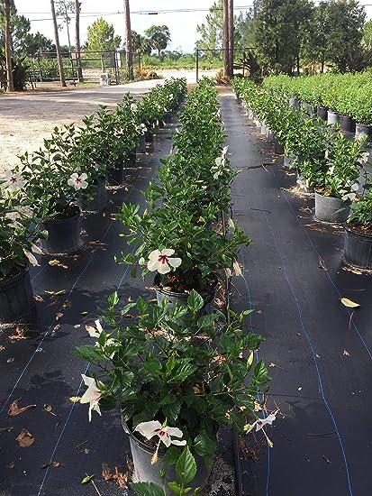 Amazoncom Hibiscus Rosa Sinensis White Wings Tropical Hibiscus