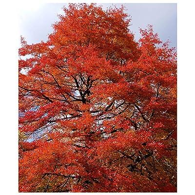 Black Gum Tree, Black Tupelo, Sourgum, Nyssa Sylvatica, 1 Gallon Potted Plant, Healthy Plants, Strong Roots, Shade Tree, Ornamental Tree : Garden & Outdoor