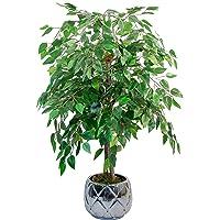 Maia Shop Ficus Troncos Naturales, Elaborados con los