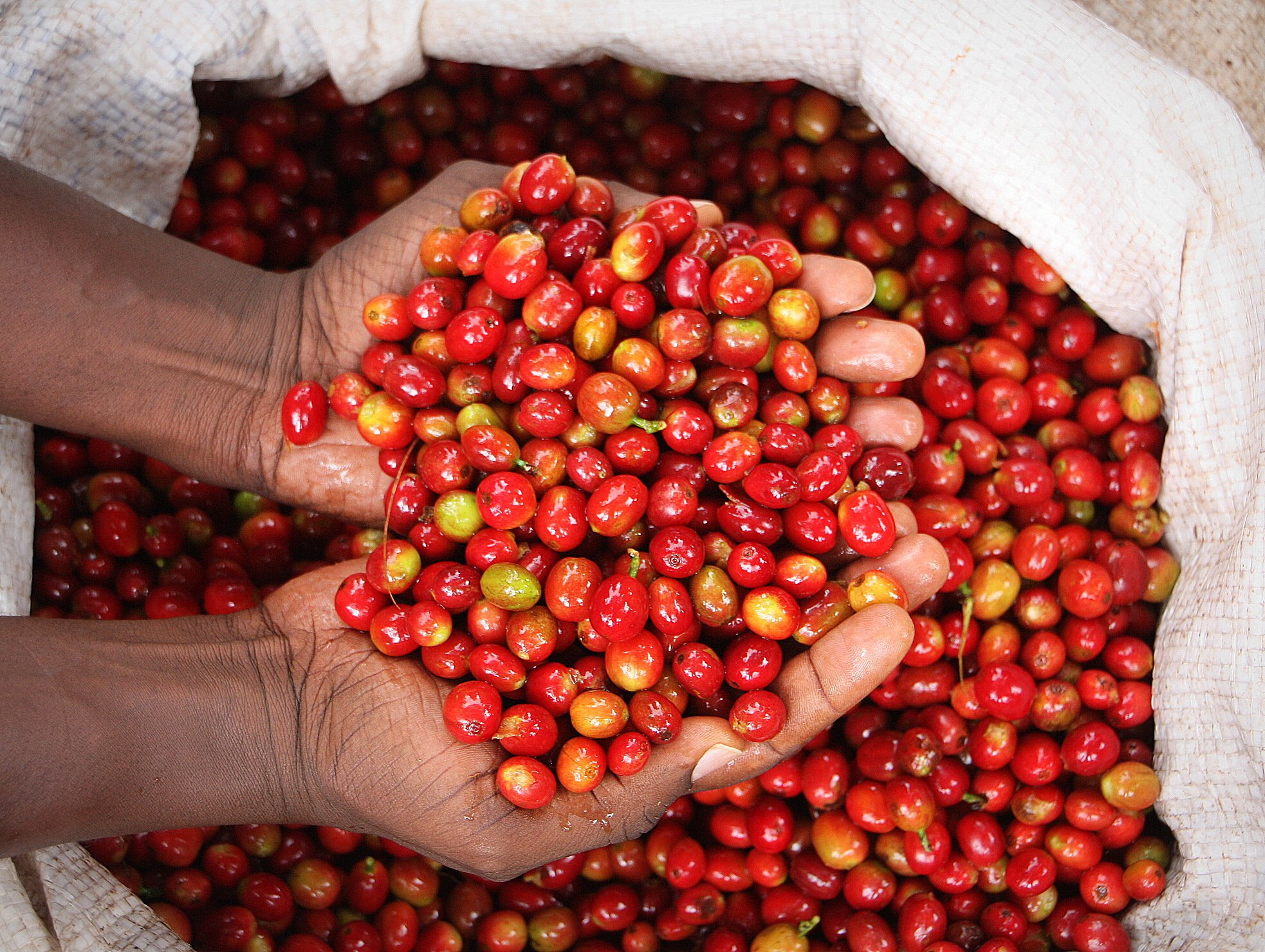 5 LB Ethiopia Limu Gera Unroasted Green Coffee Beans, 100% Specialty Arabica Raw Beans for Home Roasting