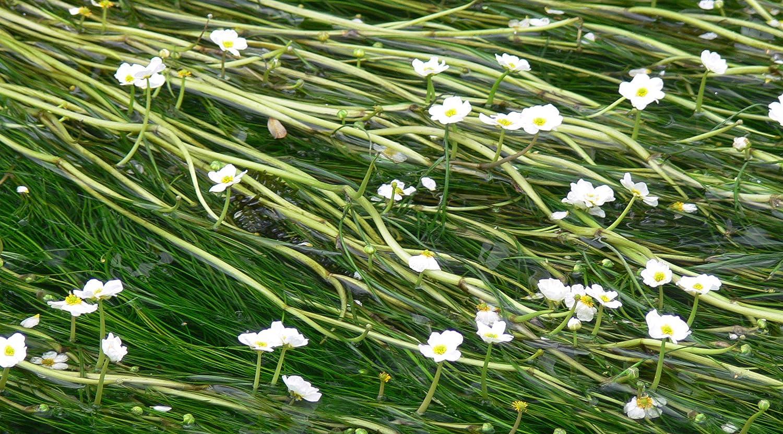 1 Bunch - Ranunculus aquatillis Oxygenating Pond Plant Lincolnshire Pond Plants Ltd